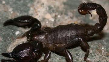 הדברת עקרבים