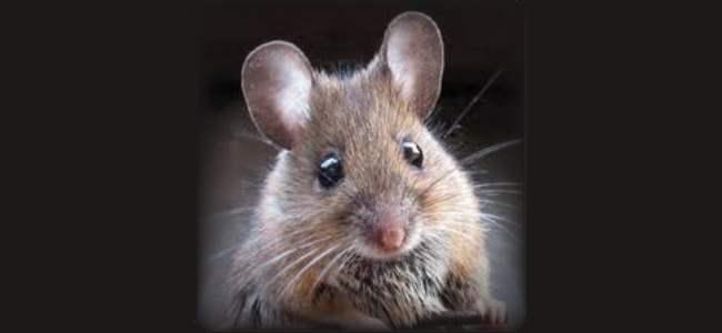 עכבר מצוי